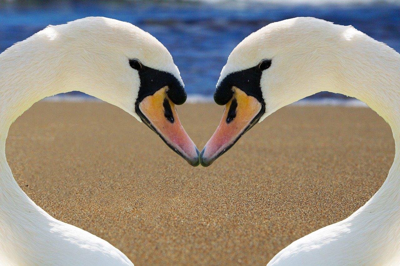swans_1280